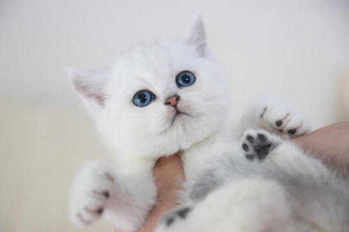 英短银渐层猫哪里买放心?珠海哪里有卖银渐层猫