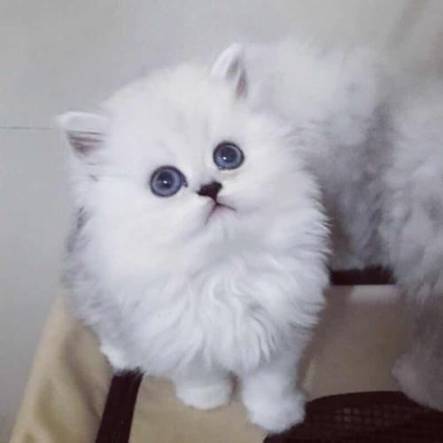 欢迎上门挑选猫咪惠州哪里有卖金吉拉猫