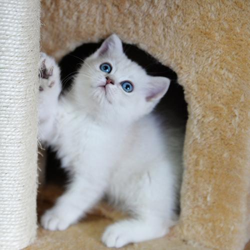 价格优惠深圳哪里有卖银渐层猫 银渐层小猫出售