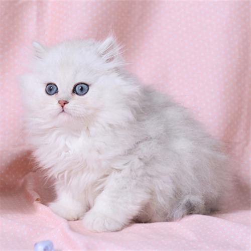 金吉拉品相大眼睛 面向甜东莞哪里有卖金吉拉猫