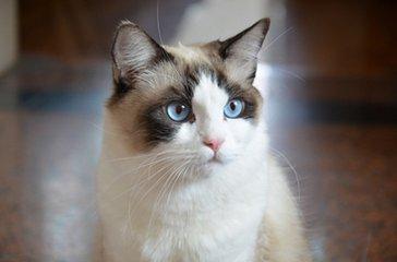 惠州哪里有卖布偶猫。纯种蓝双布偶猫