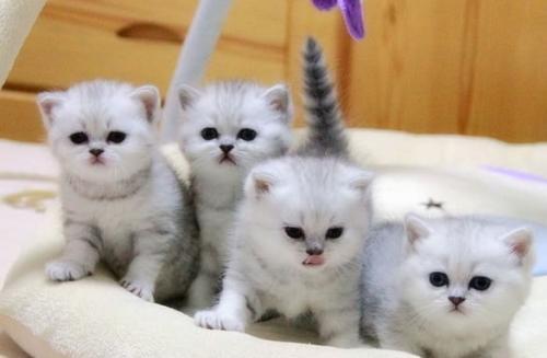 大包子脸橘眼英短猫 珠海哪里有卖银渐层猫