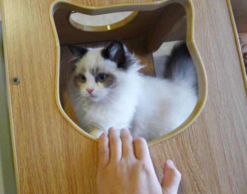 正规猫舍在哪,广州哪里有布偶猫卖的 蓝双色 开脸正