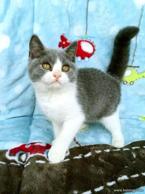 买猫首选康达猫舍,放心健康佛山哪里有卖蓝白猫