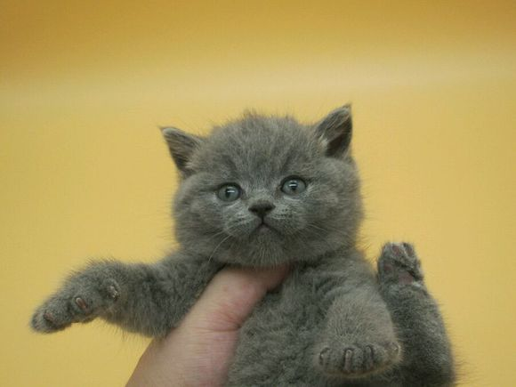 英短蓝猫珠海哪有卖蓝猫的 蓝猫性格乖乖
