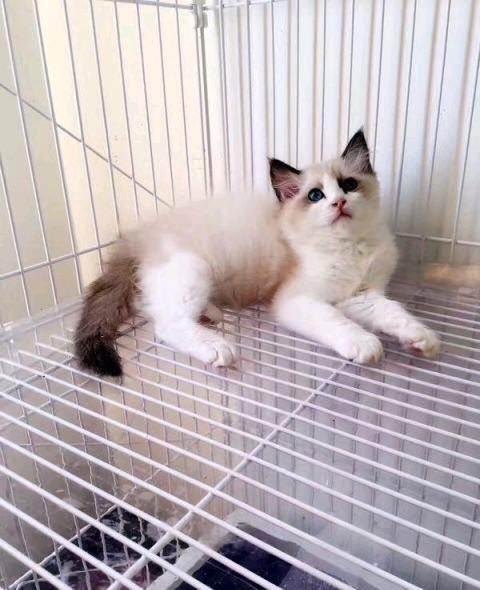 布偶猫枫叶脸 眼睛超蓝东莞哪里卖布偶猫