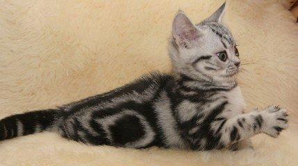 选购美短猫崽广州猫舍哪里有卖美短
