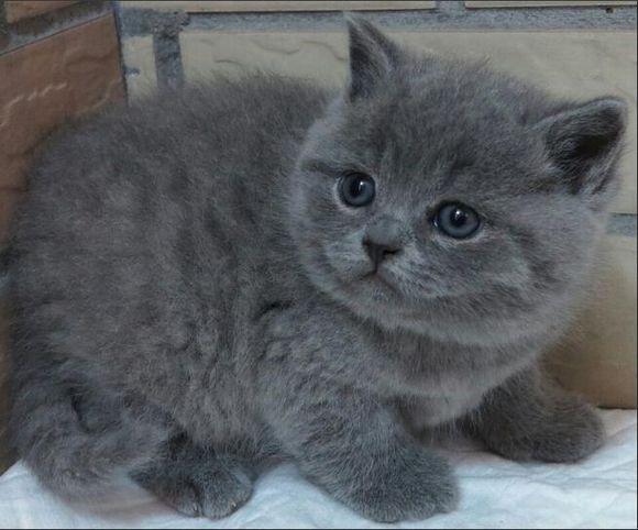 自家养的蓝猫宝宝,纯种佛山哪有卖高端品质蓝猫