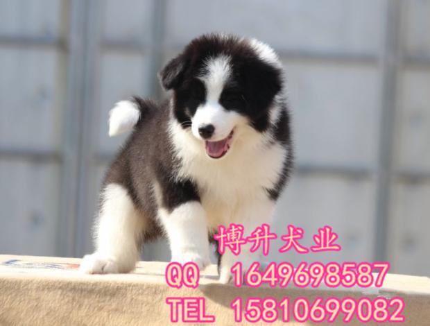 北(bei)京(jing)邊牧犬(quan)價格 純種邊牧犬(quan) 包健(jian)康包血統 簽署協議 可送(song)貨