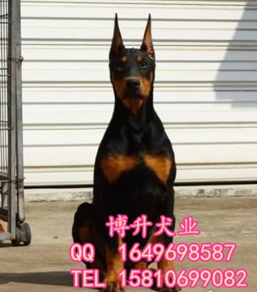 北(bei)京(jing)哪賣純種杜賓犬(quan) 德系杜賓 已做(zuo)完疫苗 簽訂協議 保健(jian)康