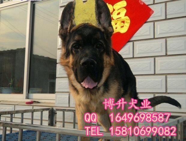 北(bei)京(jing)德牧犬(quan)價格 純種德國牧羊犬(quan) 錘(chui)系德牧 品質三包 簽協議