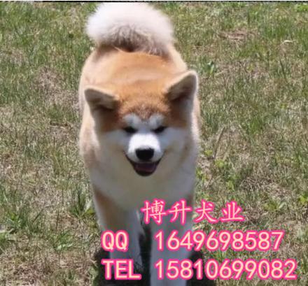 北(bei)京(jing)哪賣純種秋田(tian)犬(quan) 日系秋田(tian) 百(bai)分百(bai)健(jian)康 多(duo)窩挑選 可送(song)貨