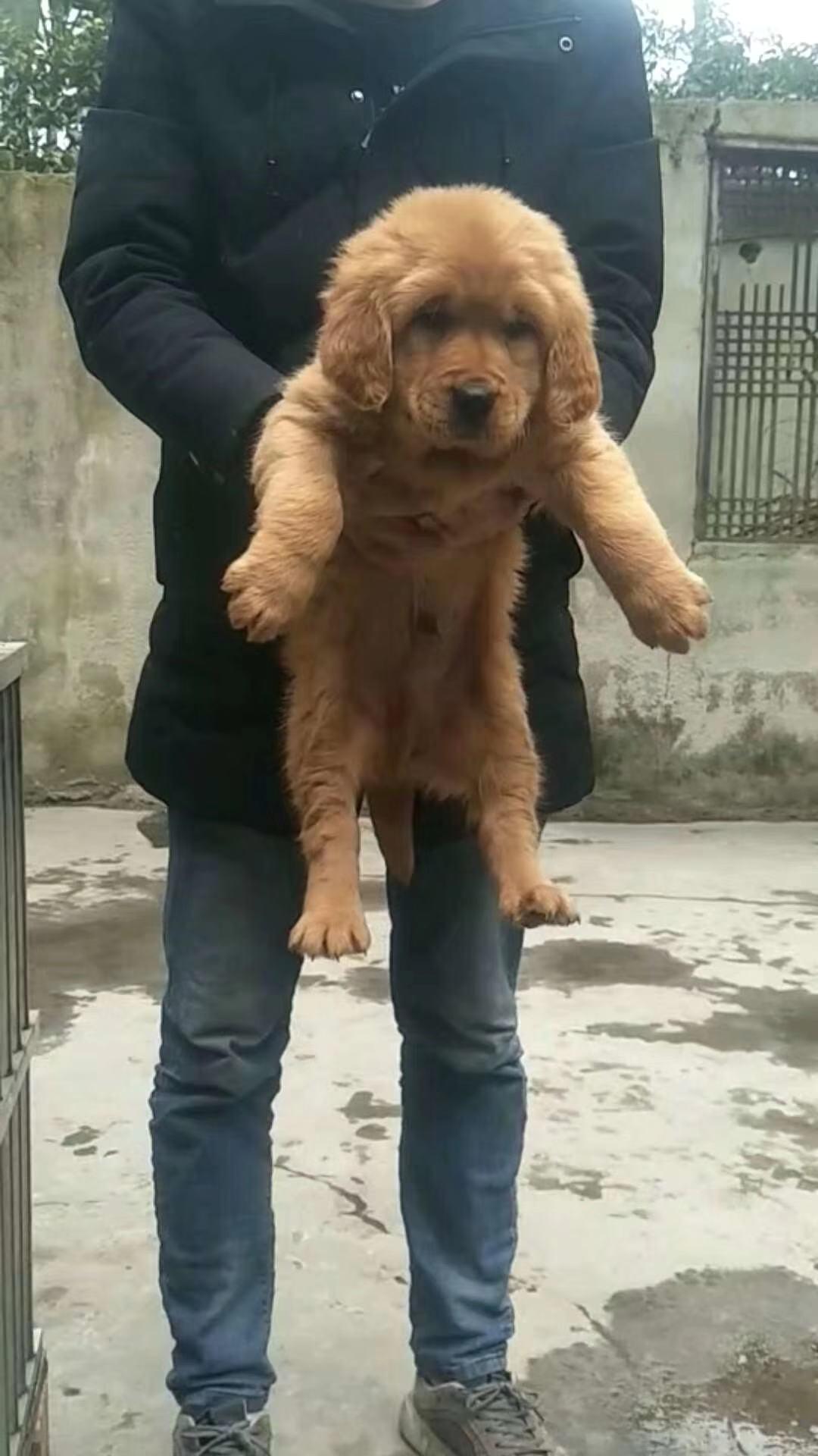 宠物级金毛幼犬带血统1