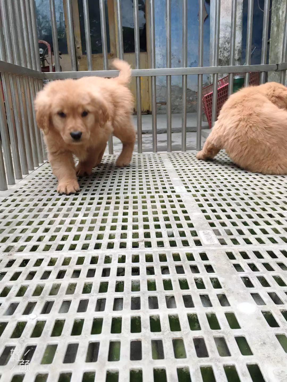 宠物级金毛幼犬带血统2