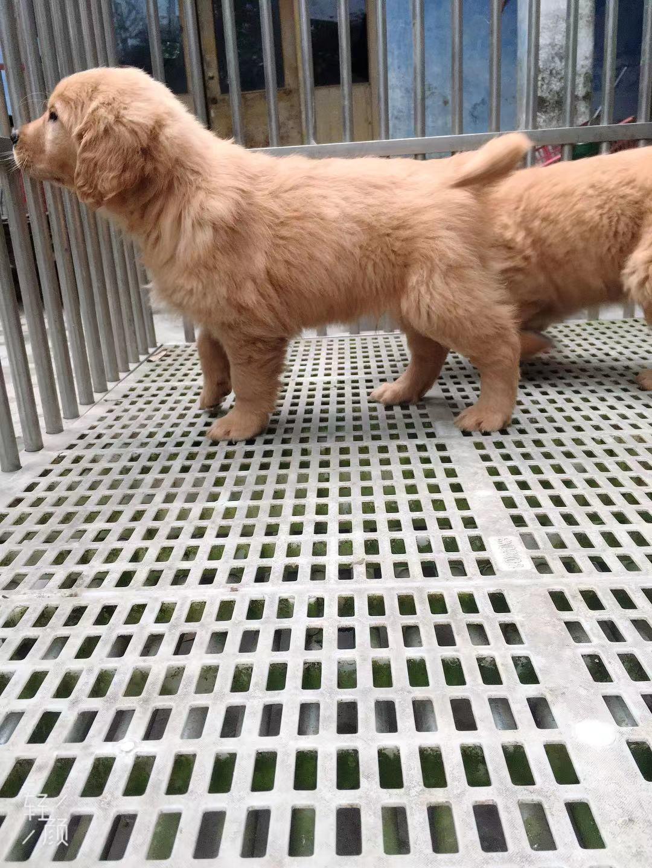 宠物级金毛幼犬带血统5