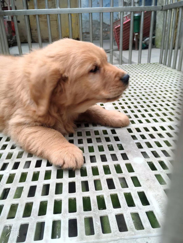 宠物级金毛幼犬带血统6