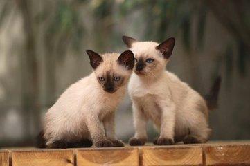 买猫靠谱 广州暹罗猫哪里买好有卖暹罗猫的