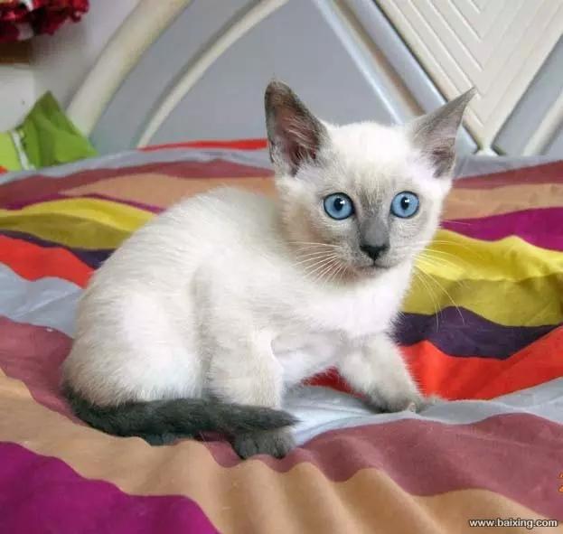 好品质大蓝眼暹罗猫。佛山哪里有卖暹罗猫