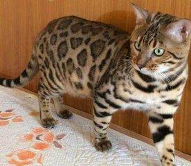 豹猫好养吗深圳那有卖高端品质孟加拉豹猫