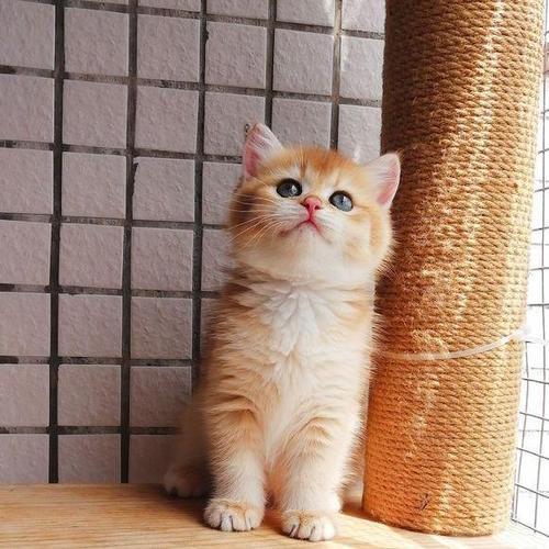 精品猫舍繁育金渐层 大头可爱广州哪有卖金渐层猫咪
