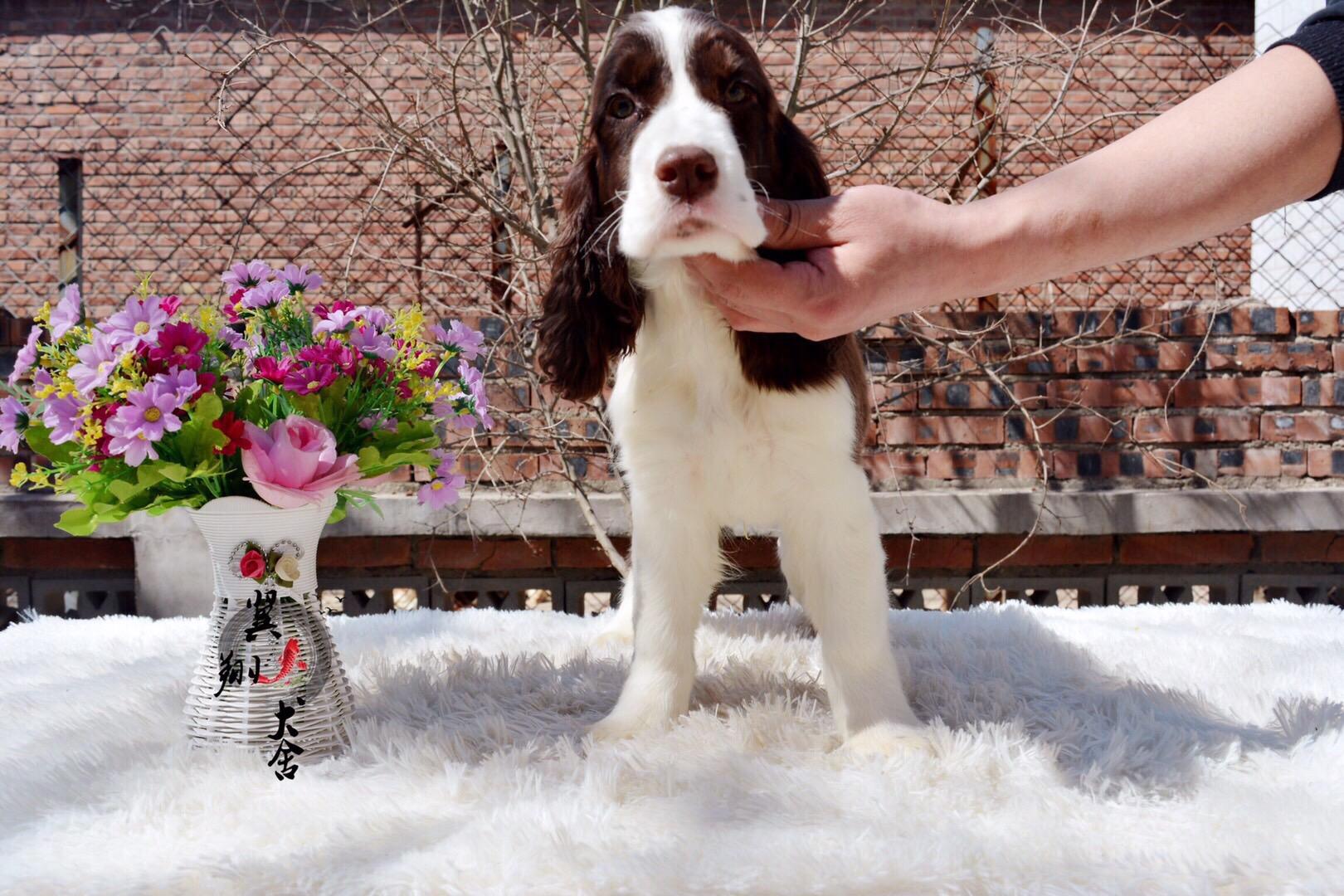 哪有卖纯种史宾格犬翼翔犬舍专业繁殖高品质史宾格犬