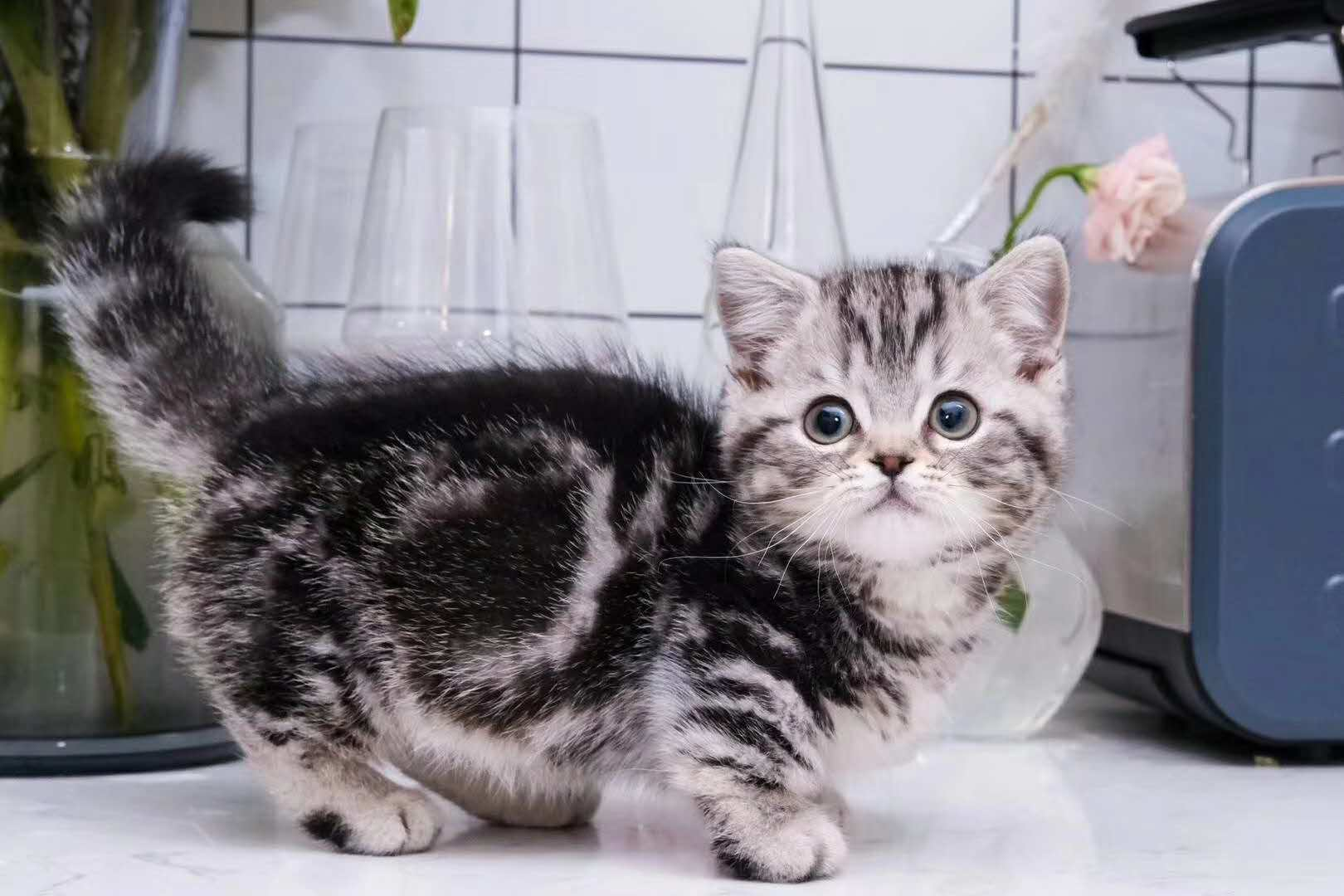 美国短毛猫,标板虎斑,加白起司猫特价出售