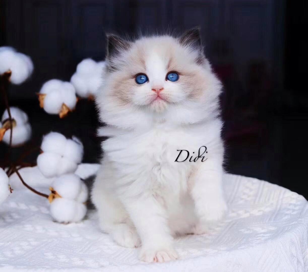 本地正规猫舍繁殖精品布偶猫 满耳满背 温顺黏人