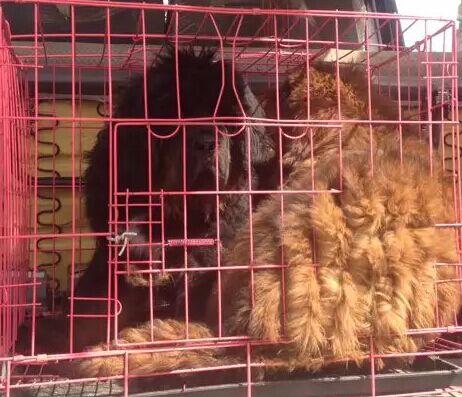 云南红河州附近哪里有藏獒卖多少钱狗场藏獒常年出售5
