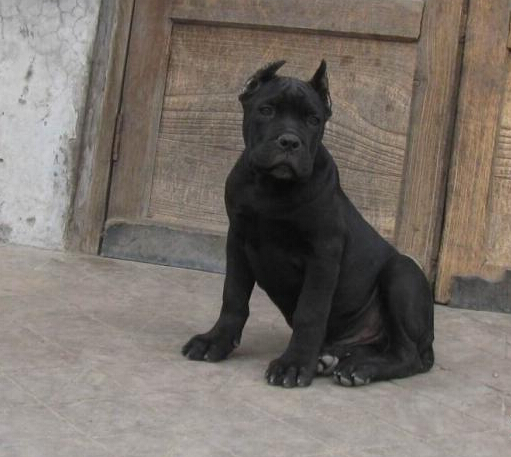 云南景洪哪里有卡斯罗卖狗场常年卖卡斯罗幼犬5