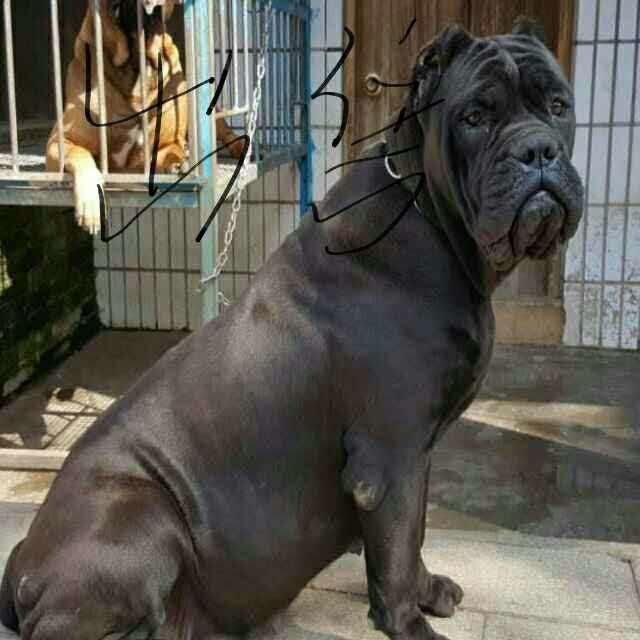 云南景洪哪里有卡斯罗卖狗场常年卖卡斯罗幼犬1