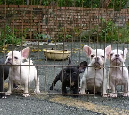云南文山哪里有人卖法斗狗场常年卖法国斗牛犬5