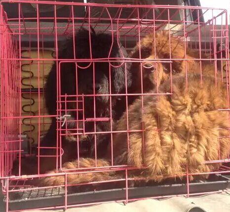 云南红河州附近哪里有藏獒卖多少钱狗场藏獒常年出售1