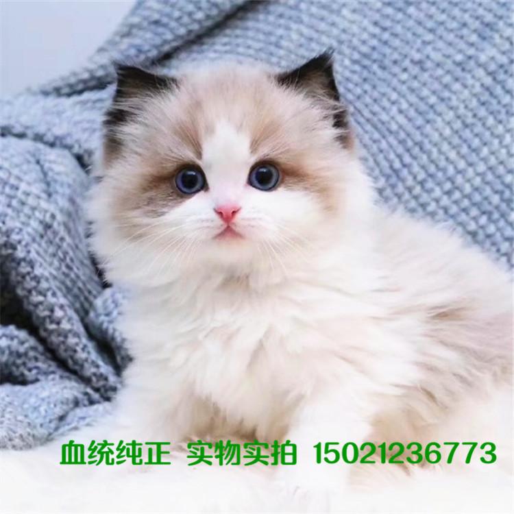 活泼健康 布偶猫 加菲猫 金渐层 矮脚猫 德文猫