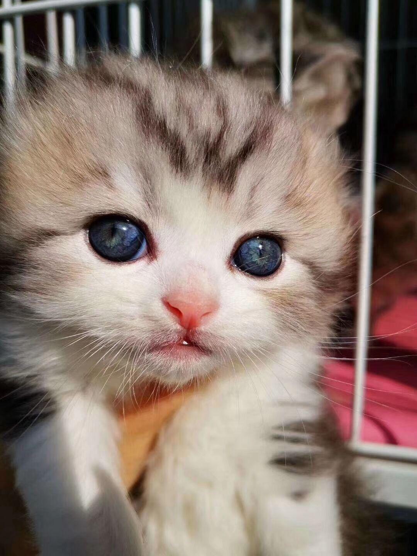 高品质美短高地呆萌网红猫北京动物园自育自售
