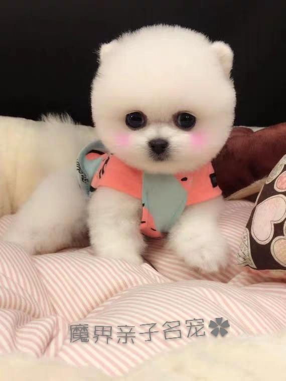 博美茶杯犬博美俊介各种造型北京动物园出售欢迎咨询