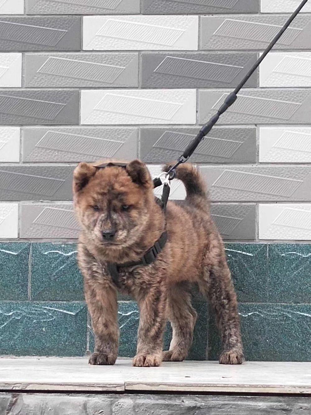 中华田园犬,广西虎斑犬