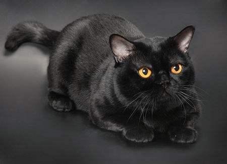 出售孟买猫黑猫黄色大眼睛温顺听话送笼子和猫盘子