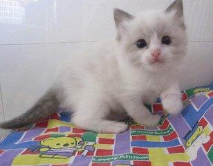 江门猫舍高端品质布偶。江门哪里有卖布偶猫