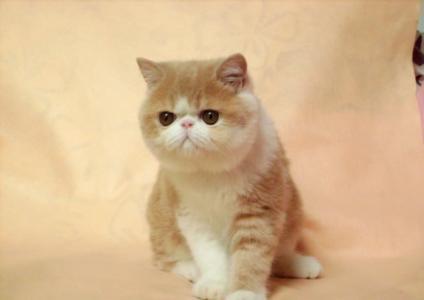纯种加菲猫 幼猫出售惠州哪里有卖加菲猫5