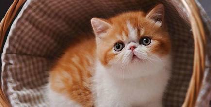 康达猫舍专业繁殖加菲猫,低价出售佛山哪里有卖加菲猫6