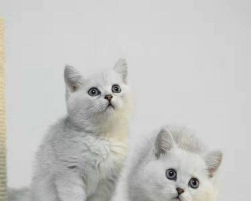 高颜值银渐层猫,哪里买猫健康佛山哪里有卖银渐层猫