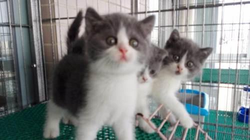 小可爱英短猫咪广州哪里有卖蓝白猫健康