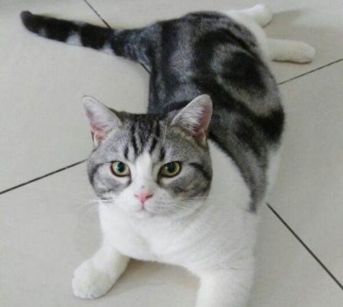 美国短毛猫 找有缘人好心人中山哪里有卖美短猫