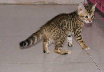 豹猫好养吗东莞哪里有卖豹猫3
