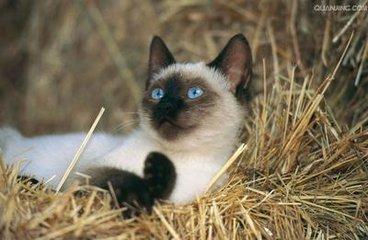 暹罗猫 眼神犀利 高端大气惠州哪里有卖暹罗猫