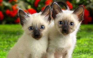 送猫上门 猫到付款 当日达广州哪里有卖暹罗猫6