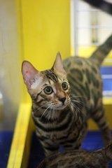 纯种孟加拉豹猫啦。深圳哪里有卖豹猫