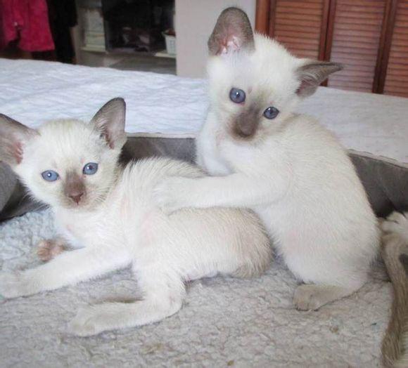 送猫上门 猫到付款 当日达广州哪里有卖暹罗猫3