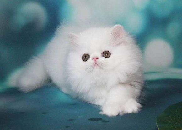康达猫舍专业繁殖加菲猫,低价出售佛山哪里有卖加菲猫3