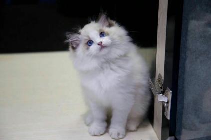 小可爱布偶猫,买猫首选康达猫舍广州哪里有卖布偶猫